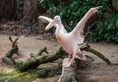 Great white pelican with extended wings — Stock Photo