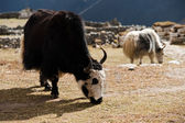 Livestock in Nepal: Yak in highland village in Himalayas — Stock Photo