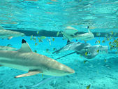 Snorkeling with tropical sharks and stingrays — Foto de Stock