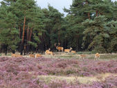 Red deer in het forest — Stockfoto