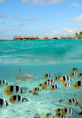 Shark and butterfly fish at Bora Bora — Stock Photo