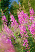 Blossoming willow-herb — Stock Photo