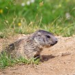 Stock Photo: Little marmot