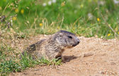 Little marmot — Stock Photo