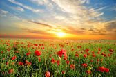 Field with poppies — Stock Photo