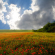 Field with poppies - Foto de Stock  