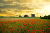 Field with poppies — Foto de Stock