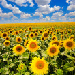 Blooming sunflowers — Stockfoto
