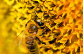 スズメバチを食べる — ストック写真