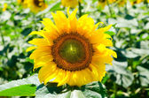 Tournesol — Photo