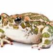 Bufo viridis. Green toad on white background. — Stock Photo #10896502