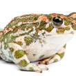 Bufo viridis. Green toad on white background. — Stock Photo #10896527