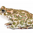 Bufo viridis. Green toad on white background. — Photo