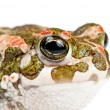 Bufo viridis. Green toad on white background. — Stock Photo #11306250