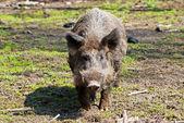 European wild boar — Stock Photo