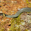 Grass snake in forest background. Natrix natrix — Stock Photo