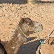 Camel resting at Erg Chebbi, Morocco — Stockfoto #11606258