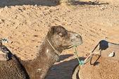 Cammello appoggiata all'erg chebbi, marocco — Foto Stock