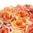 Orange and pink roses — Stock Photo
