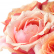 Fresh pink garden roses — Stock Photo