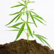 Cannabis plant - Stock Photo