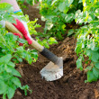 Stock Photo: Earthing up of potato plants