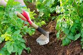 Earthing up of potato plants — Stock Photo