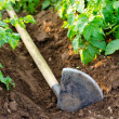 Hoe by potato plants - Stock Photo