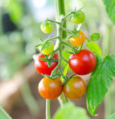 Cherry tomatoes, macro — Stock Photo