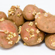 Stock Photo: Germinating potatoes