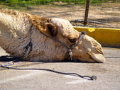 Tired Camel — Stock Photo