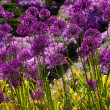 Abstract violet flowers on field (shallow DOF) — Stock Photo #11457284