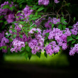 Bunch of violet lilac flower (shallow DOF) — Stock Photo #11457290