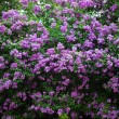 Bunch of violet lilac flower (shallow DOF) — 图库照片 #11457292