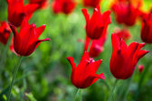 Red tulips in the field (shallow DOF) — Stockfoto