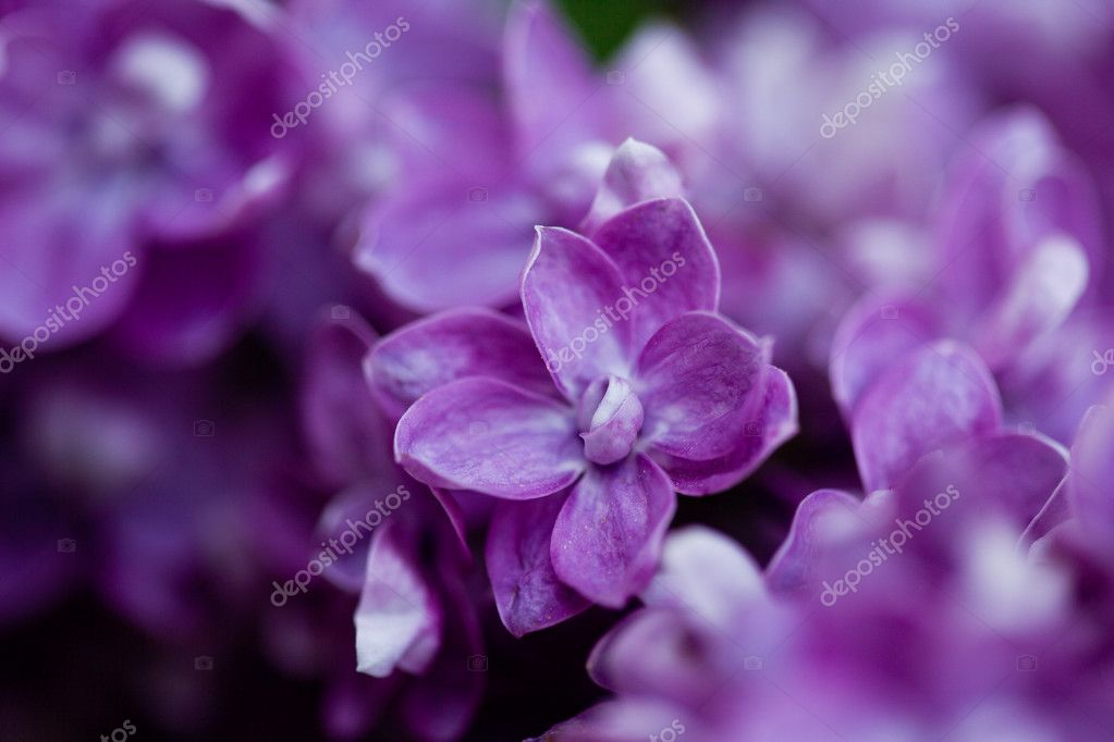 Bunch of violet lilac flower (shallow DOF)  Foto Stock #11457294