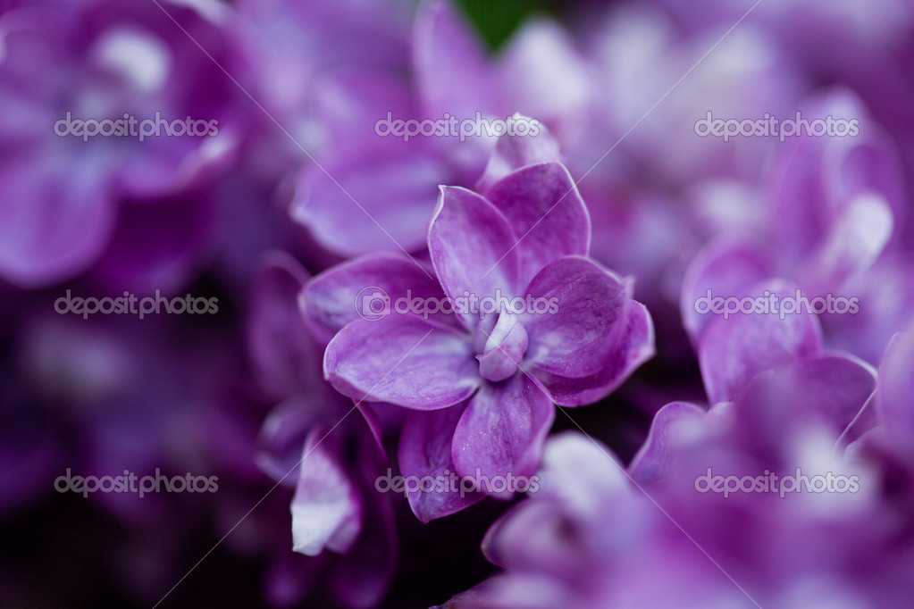 Bunch of violet lilac flower (shallow DOF) — Stock Photo #11457294
