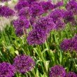 Abstract violet flowers on field (shallow DOF) — Stock Photo #11464407