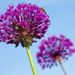 Stock Photo: Abstract violet flowers on field (shallow DOF)