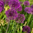 Abstract violet flowers on field (shallow DOF) — Stock Photo