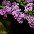 Bunch of violet lilac flower (shallow DOF) — Stock Photo #11464431