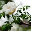 Bunch of white peony flower (shallow DOF) — Stock Photo