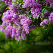 Bunch of violet lilac flower (shallow DOF) — Stock Photo #11464436