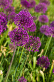 Abstract violet flowers on field (shallow DOF) — 图库照片
