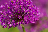 Abstract violet flowers on field (shallow DOF) — Photo