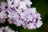 Bunch of pink lilac flower (shallow DOF) — Stock Photo