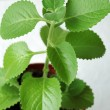 Stock Photo: Green leafy houseplant