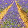 Stock Photo: Lavender landscape in the south of France