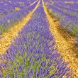 Lavender landscape in the south of France — Stock Photo