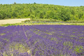 Lavender field in the south of France — Stock Photo